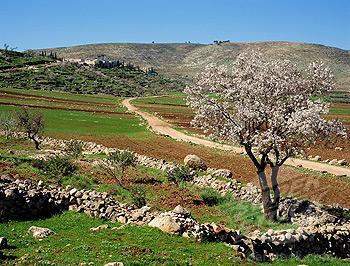 Amandier près du mont Hebron